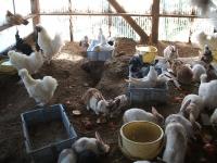 2014-05-17鳩兔鶏254