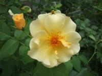 2014-06-21花巻温泉街バラ園006