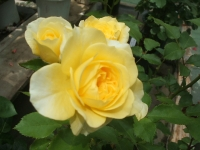 2014-06-21花巻温泉街バラ園005