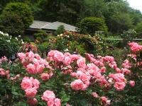 2014-06-21花巻温泉街バラ園030
