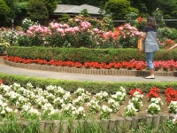 2014-06-21花巻温泉街バラ園026