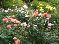 2014-06-21花巻温泉街バラ園048