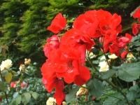 2014-06-21花巻温泉街バラ園031