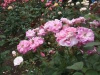 2014-06-21花巻温泉街バラ園051