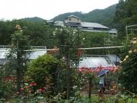 2014-06-21花巻温泉街バラ園062