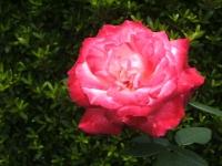 2014-06-21花巻温泉街バラ園061