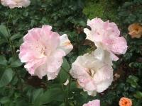 2014-06-21花巻温泉街バラ園058