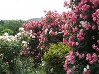 2014-06-21花巻温泉街バラ園068