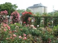 2014-06-21花巻温泉街バラ園063