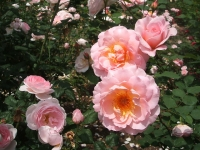 2014-06-21花巻温泉街バラ園079