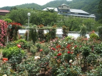 2014-06-21花巻温泉街バラ園087