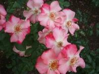 2014-06-21花巻温泉街バラ園091