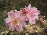 2014-06-21花巻温泉街バラ園090
