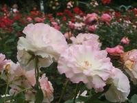 2014-06-21花巻温泉街バラ園101