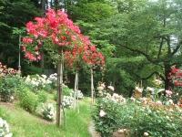 2014-06-21花巻温泉街バラ園112