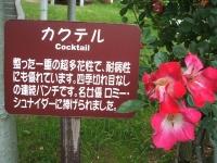 2014-06-21花巻温泉街バラ園109