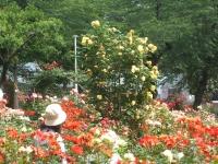 2014-06-21花巻温泉街バラ園114