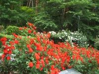 2014-06-21花巻温泉街バラ園115