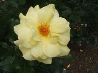 2014-06-21花巻温泉街バラ園126