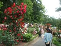 2014-06-21花巻温泉街バラ園138