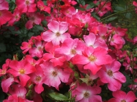 2014-06-21花巻温泉街バラ園136