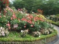 2014-06-21花巻温泉街バラ園149