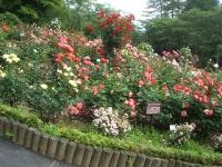 2014-06-21花巻温泉街バラ園148