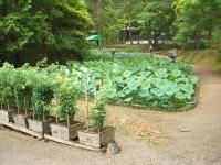 2014-06-28毛越寺あやめ祭り029