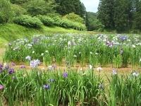 2014-06-28毛越寺あやめ祭り037