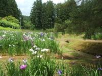 2014-06-28毛越寺あやめ祭り036