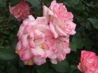 2014-06-21花巻温泉街バラ園157