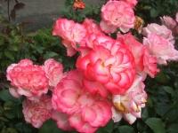 2014-06-21花巻温泉街バラ園158