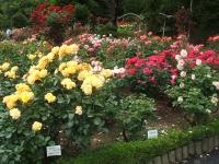 2014-06-21花巻温泉街バラ園164