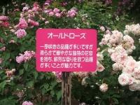2014-06-21花巻温泉街バラ園181