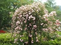 2014-06-21花巻温泉街バラ園183