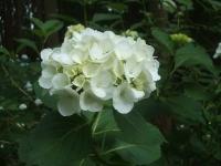 みちのく紫陽花園2014-07-05-003