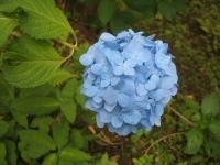 みちのく紫陽花園2014-07-05-002