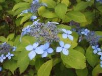 みちのく紫陽花園2014-07-05-001