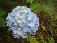 みちのく紫陽花園2014-07-05-011