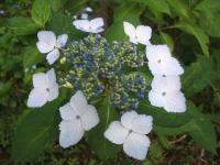 みちのく紫陽花園2014-07-05-010