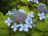 みちのく紫陽花園2014-07-05-008