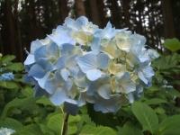 みちのく紫陽花園2014-07-05-007