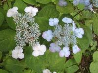 みちのく紫陽花園2014-07-05-005