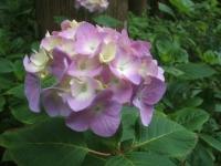みちのく紫陽花園2014-07-05-006