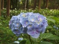 みちのく紫陽花園2014-07-05-019