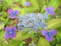 みちのく紫陽花園2014-07-05-018