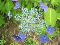みちのく紫陽花園2014-07-05-017