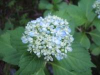 みちのく紫陽花園2014-07-05-016