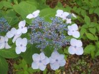 みちのく紫陽花園2014-07-05-012