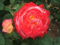 2014-06-21花巻温泉街バラ園198